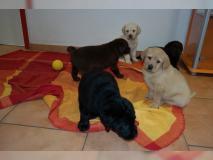 Cuccioli di Labrador - cani di famiglia...