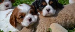 cavalier king con pedigree enci