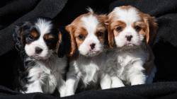 cavalier king con pedigree...
