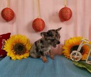 Chihuahua maschio grigio Merle toy
