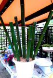In vendita canne di bambù bambu con...
