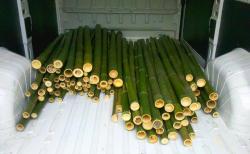In vendita canne di bambù bambu con diametri da 1 a 10 cm. lunghezza da definire Invenditacannedibambbambucondiametrida1a10cmlunghezzadadefinire123456789.jpg