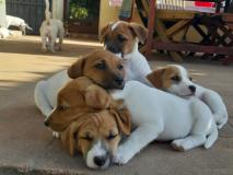 Cuccioli di Jack russell terrier