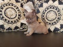 Chihuahua maschio blu pelo lungo
