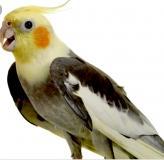 Pappagalli Calopsiti