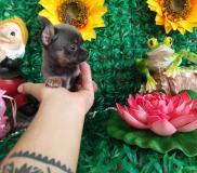 Chihuahua  femmina pelo raso Blue...