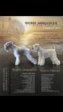 Disponibili cuccioli di zwergschnauzer bianco