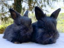 Conigli Angora Inglesi