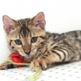 Gattini del Bengala disponibili
