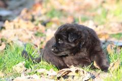 cuccioloi pastore tedesco a pelo lungo, nero e nero focato