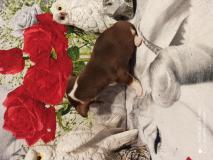 Chihuahua maschio cioccolato focato 72 giorni