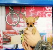 Chihuahua mini toy Chihuahuaminitoy12.jpg