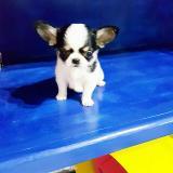 Chihuahua mini toy Chihuahuaminitoy1234.jpg