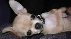 Chihuahua mini toy Chihuahuaminitoy12345.jpg