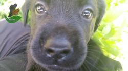 Cuccioli di LABRADOR RETRIEVER NERI --- ALLEVAMENTO