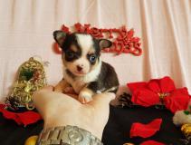 Chihuahua maschio tricolor di...