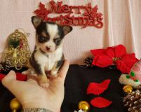Chihuahua maschio tricolor di piccolissime dimensioni straordinario Chihuahuamaschiotricolordipiccolissimedimensionistraordinario1.jpg