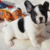 Cuccioli di Bulldog francese