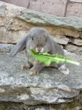 Conigli nani ariete