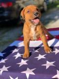 Cuccioli American Pitbull