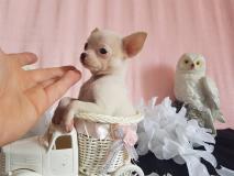 chihuahua femmina pelo raso bianco toy testa a mela e stop cortissimo