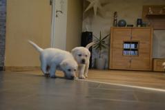 Due cuccioli di Labrador