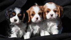cuccioli di cavalier king femminucce e maschietti