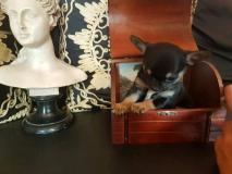 Chihuahua maschio nero focato