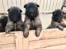 cuccioli di pastore stupendi