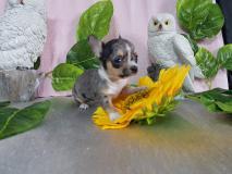 Chihuahua maschio merle minuscolo