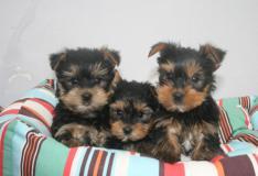 cuccioli maschio e femmina Yorkshire toy