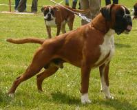 boxer cuccioli di qualità