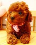 adorabili cuccioli di barboncino giocattolo