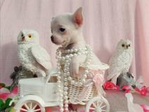 Chihuahua femmina pelo raso dimensione Toy bianca