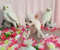 Chihuahua femmina pelo raso dimensione Toy bianca ChihuahuafemminapelorasodimensioneToybianca123.jpg