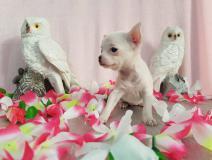 Chihuahua femmina pelo raso dimensione Toy bianca ChihuahuafemminapelorasodimensioneToybianca123456.jpg