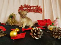Chihuahua femmina pelo lungo Chocolat...
