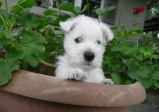 cuccioli di west highland terrier