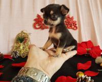 Chihuahua maschio nero focato Tea Cup...