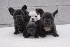 simpatico bulldog francese