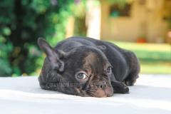 Cucciola Bulldog Francese tigrata