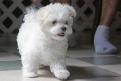 Cucciolo maltese per adozione (piccola razza)