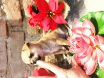 chihuahua maschio color crema toy