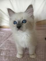 Cuccioli ragdoll blu