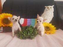 Chihuahua maschio Chihuahuamaschio123.jpg