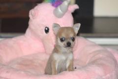 Chihuahua cuccoli con pedegree