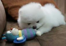 Cuccioli di Volpino Pomerania toy