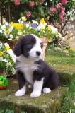 Bearded Collie cuccioli disponibili