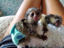 scimmie marmoset baby