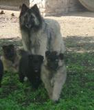 pastore belga cuccioli